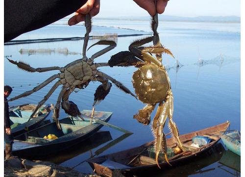 盘锦河蟹价格如何_辽宁哪里供应的盘锦河蟹优良