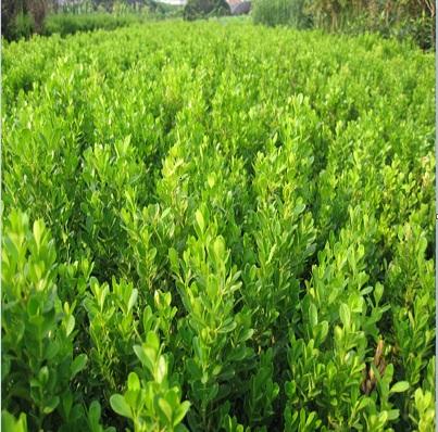 厂家批发小叶黄杨苗-想买实惠的小叶黄杨苗-就到罗鹏商贸