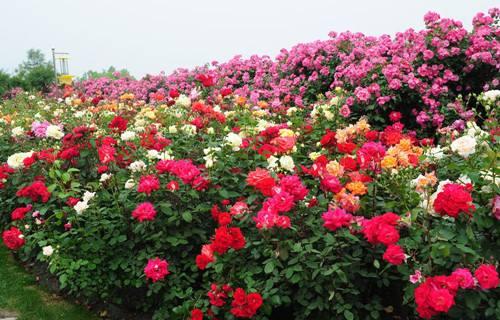 河北品种月季基地_实惠的品种月季潍坊哪里有