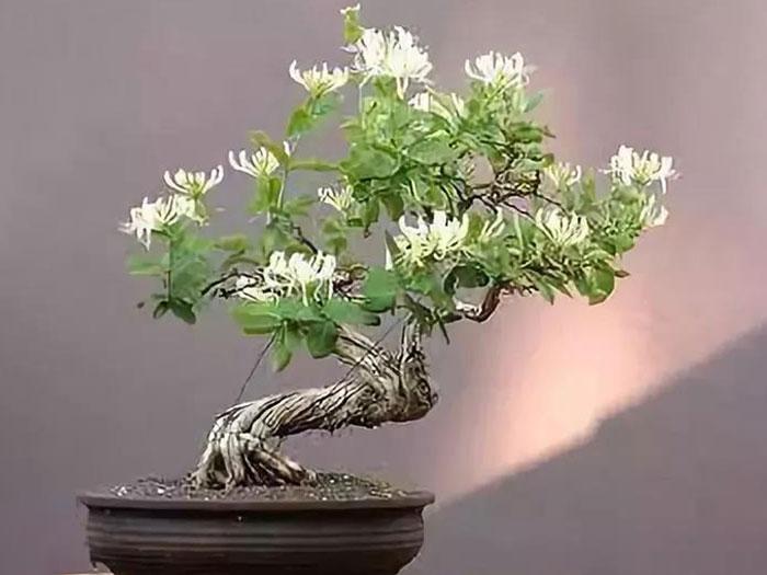 吴忠石榴盆景-银川宁夏金银花盆景上哪买