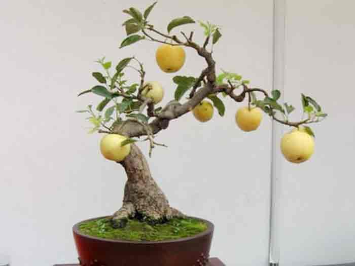 银川苹果盆景-宁夏苹果盆景找宁夏永美盆景-品种优良
