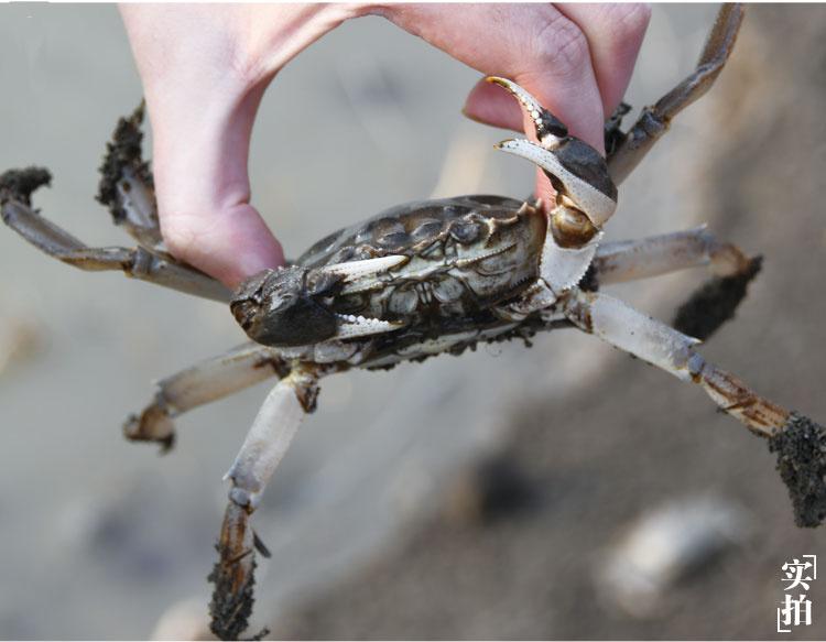 盘锦六月黄蟹