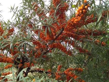 深秋红批发|供应品种好的深秋红