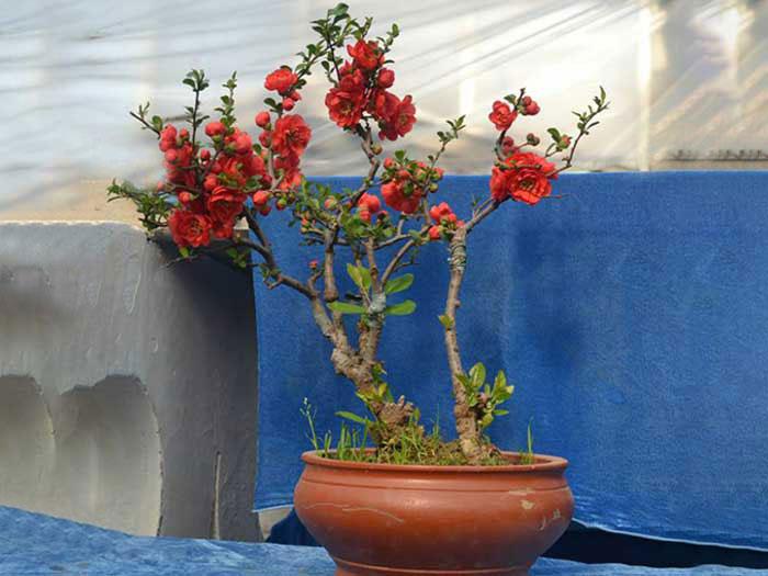 葡萄盆景_哪里有提供品质高的海棠盆景