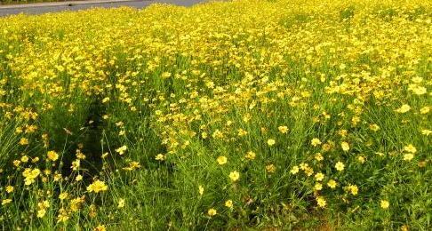 金叶菊出售-山东口碑好的金叶菊