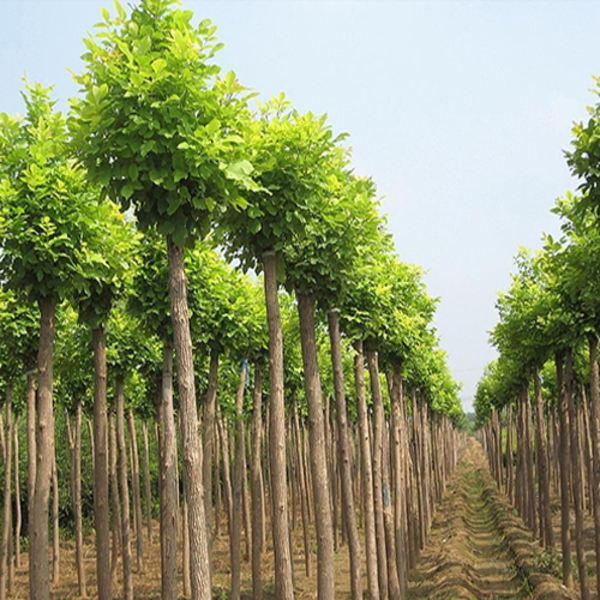 黄浦金枝国槐苗木批发|哪里有供应金枝国槐苗木种植