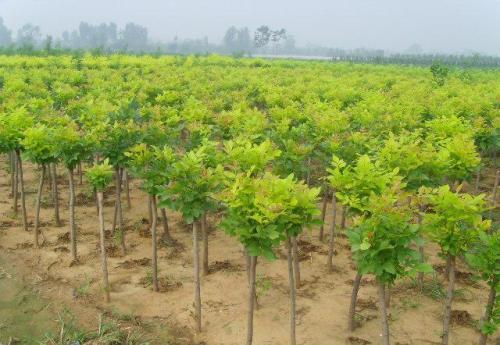 江苏国槐树苗批发|哪家法桐苗木种植品种好