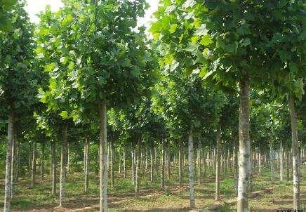 安徽国槐苗木价格_大量出售法桐苗木种植