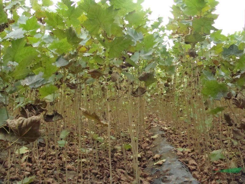 威海白蜡苗木种植,品种好的白蜡苗木种植上哪买
