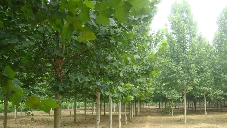 临沂国槐种植基地_供应品质优良的国槐苗木种植
