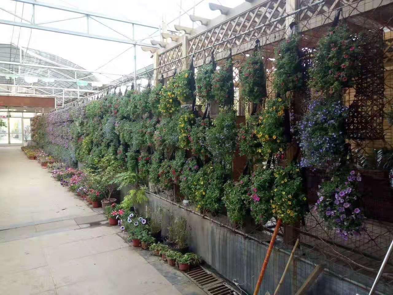 郯城盆花批发 大量供应优惠的花卉