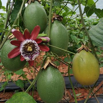 北京木瓜蜜香百香果苗-买木瓜蜜香百香果苗当然还是选果粒多