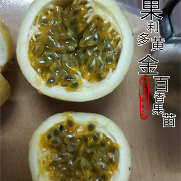 漳州黄金百香果苗种植基地