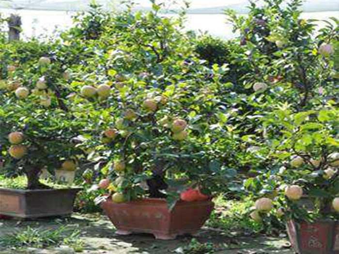 桃子盆景哪家好