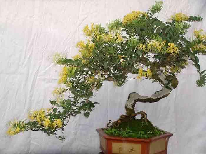 临夏甘肃金银花盆栽 供应宁夏价格实惠的甘肃金银花盆栽