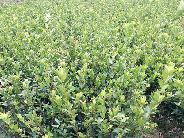 两年生油茶苗多少钱-哪里能买到两年生油茶苗裸根苗