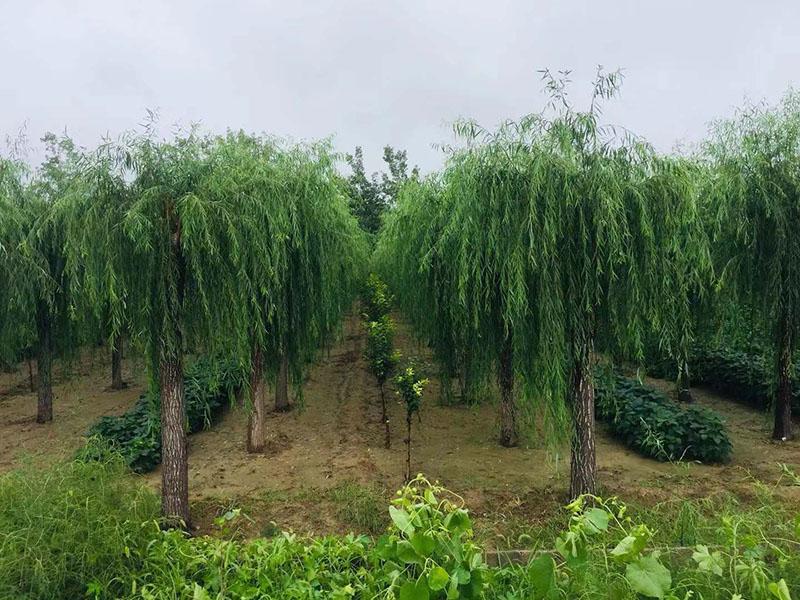 浙江垂柳|品種好的垂柳上哪買