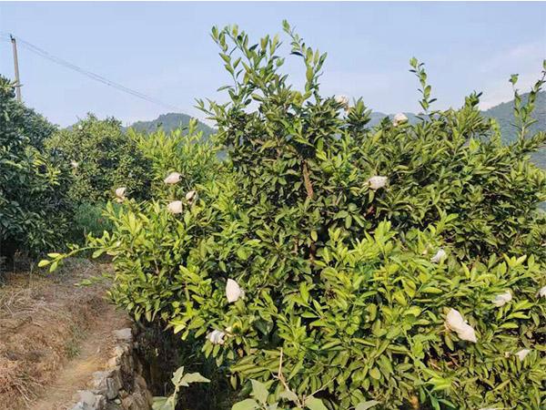 柑橘多少钱|口碑好的东江湖柑橘出售
