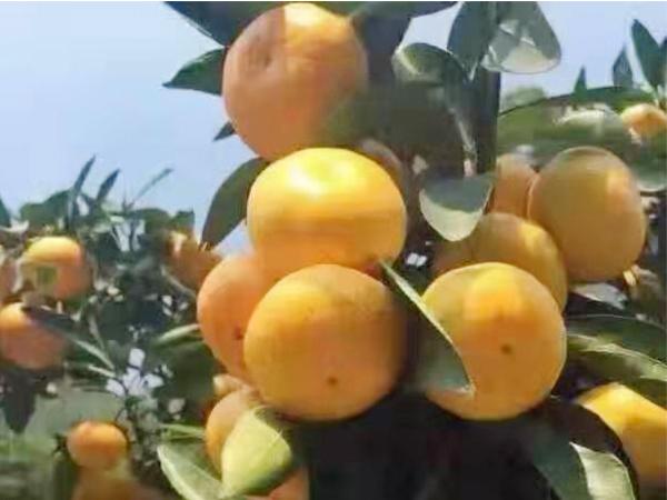 东江湖蜜桔培育基地-东江湖蜜桔哪里有卖的