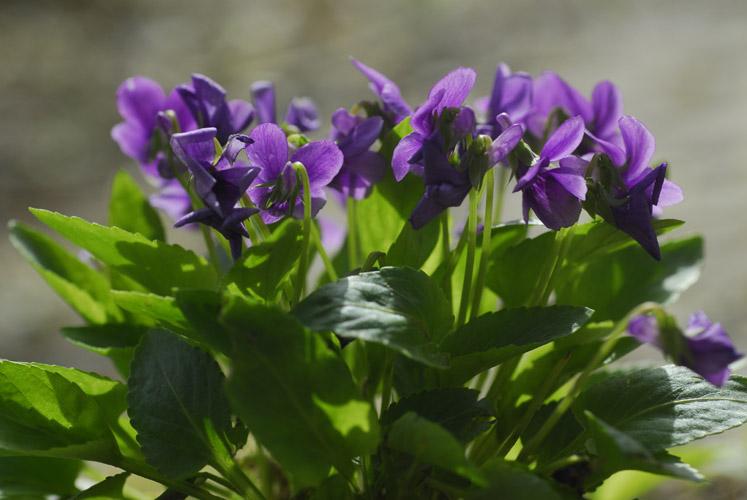 紫花地丁種植基地|紫花地丁批發