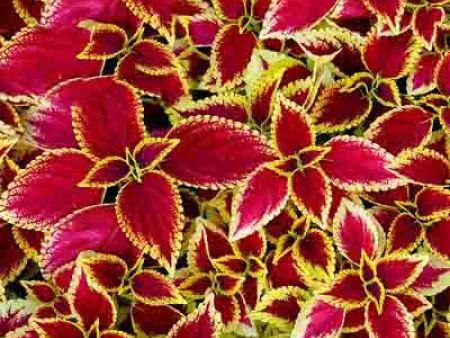 草花报价-爱燕花卉优惠的彩叶草出售