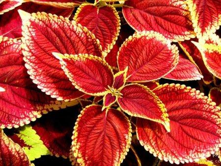 草花种植基地-爱燕花卉口碑好的彩叶草供应