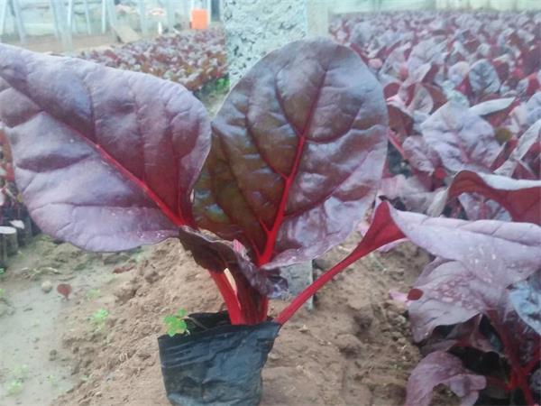 山东红叶甜菜哪家好-想买新品红叶甜菜,就到俊霖绿化苗木