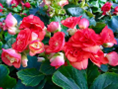 丽格海棠种植-丽格海棠开花后-丽格海棠怎么养