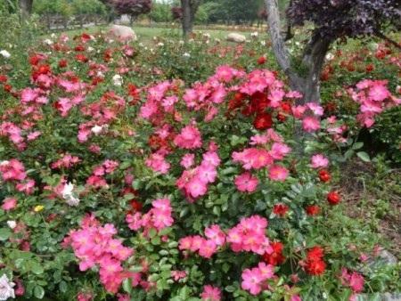 地被月季供应|潍坊口碑好的地被月季商家推荐