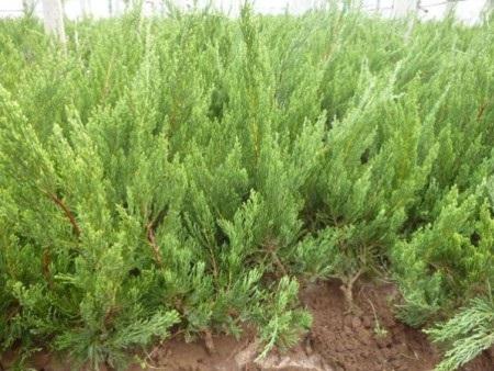 小龙柏种植-哪里有提供高性价小龙柏