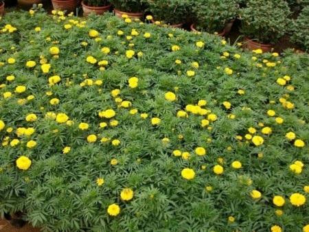 内蒙国庆菊种植 实惠的国庆菊种植基地价格