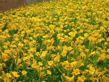 金娃娃萱草种植基地-可信赖的金娃娃萱草经销商