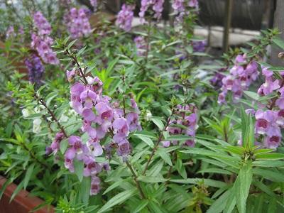 香彩雀供应 来合信花卉苗木,买高质量的香彩雀