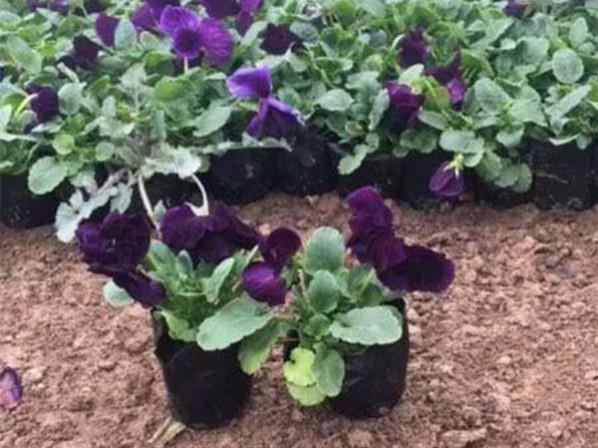 三色堇供应-想要好的三色堇就来雅润花卉苗木