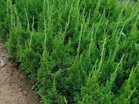 龙柏种植-来绿宝石,买口碑好的龙柏小苗工程苗