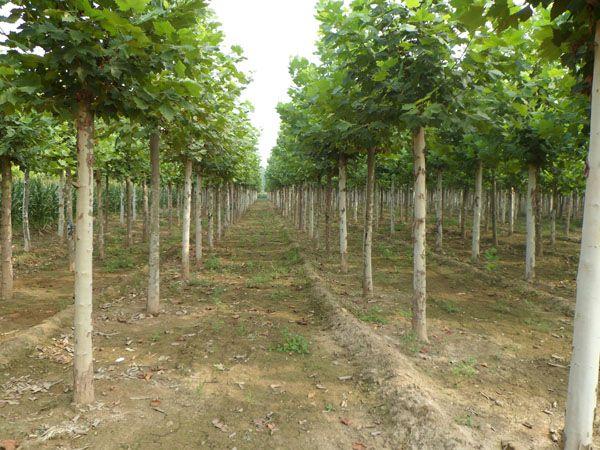 山东法桐_想要品种好的法桐就来敏达苗木