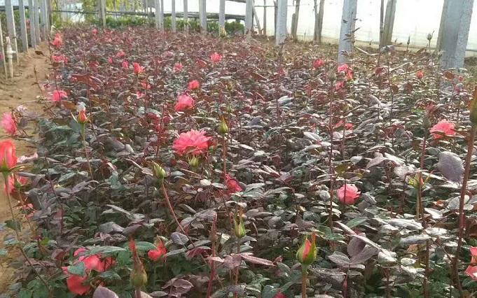 大花品种月季-选购大花月季盛泽花卉苗木