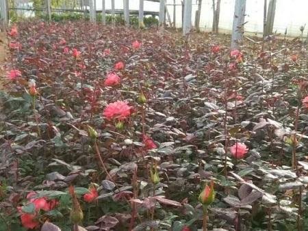 大花月季报价-想买好的大花月季就到盛泽花卉苗木