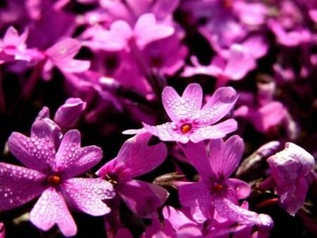河北芝樱花批发商_盛泽花卉苗木口碑好的芝樱花供应