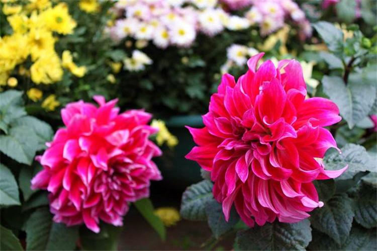 九月菊供货商-哪里有提供高性价九月菊