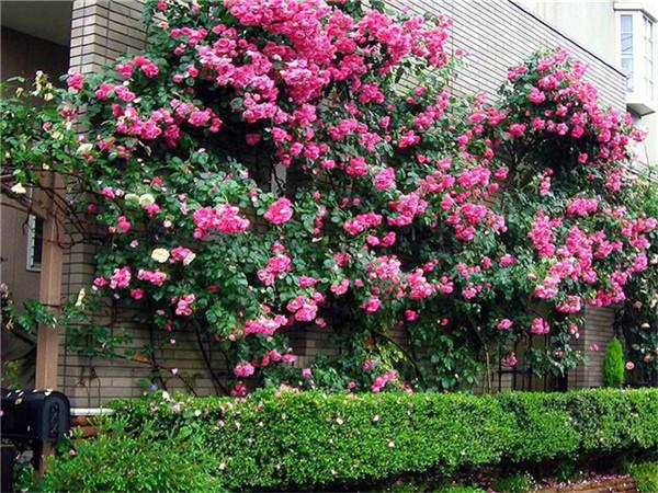 藤本月季种植基地-乾鑫花卉销量好的藤本月季供应