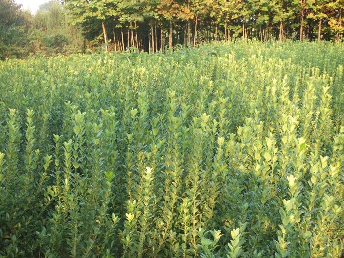 青岛苇矛扦插苗|山东有品质的苇矛扦插苗生产基地