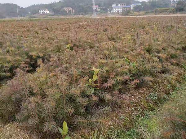 山西杉树苗供应-优良杉树苗大量批发