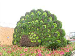 五色草成活率高-哪里能买到优惠的五色草