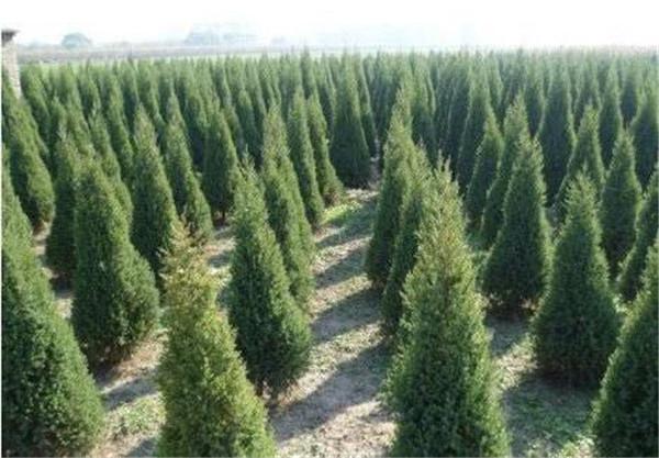城东苗木种子采购|购买苗木种子优选西藏春凯生态农牧开发