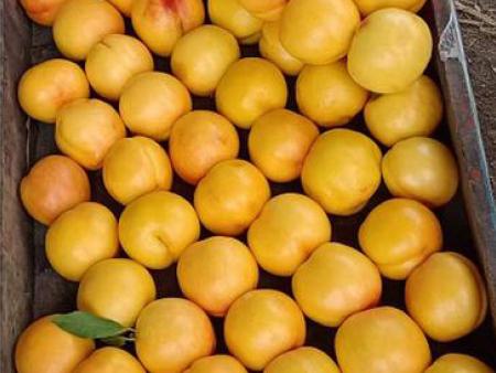 黄珊瑚黄金油桃种植-供应山东品种好的黄珊瑚黄金油桃