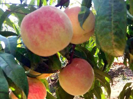 金秋红蜜桃种植-想要买金秋红蜜桃就来友建苗木