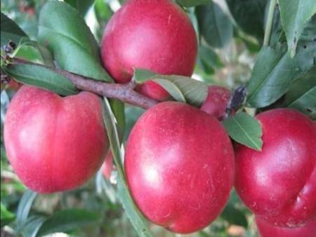 珍珠枣油桃树苗_划算的珍珠枣油桃出售