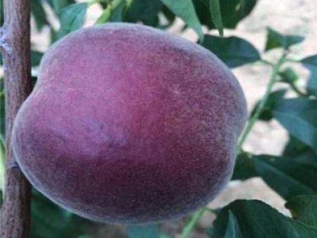 中华黑油桃树苗|中华黑油桃培育基地