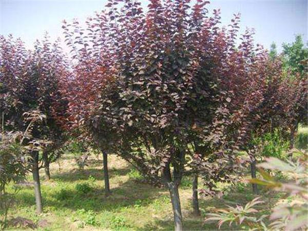 枣庄紫叶李-划算的紫叶李出售